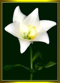 35 - Alija - Die Lilie