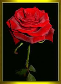 36 - ARUNA - Die Rose
